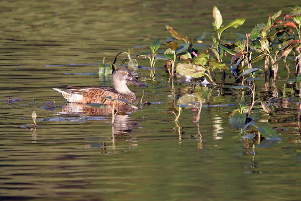 September 29 2016 - Shoveler Duck