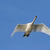 September 7 2016 - Mute Swan