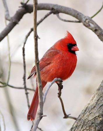 April 25 2017 - Cardinal