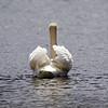 April 10 2017 - Swan