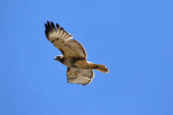 April 20 2017 - Red_Tailed Hawk