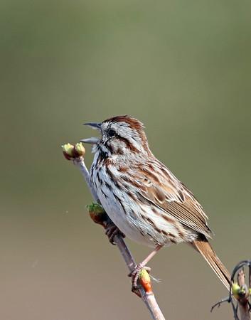 April 16 2017 - Sparrow