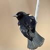 April 19 2017 - Red-Winged Blackbird