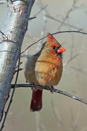 April 24 2017 - Cardinal (Female)