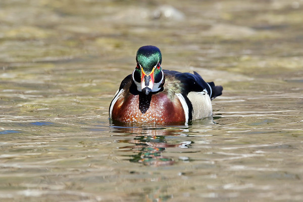 April 3 2017 - Wood Duck