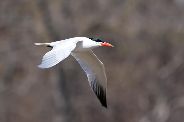 April 22 2017 - Caspian Tern