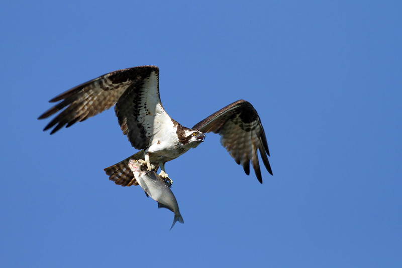 April 30 2017 - Osprey