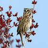 April 12 2017 - Sparrow