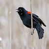 April 11 2017 - Red-Winged Blackbird