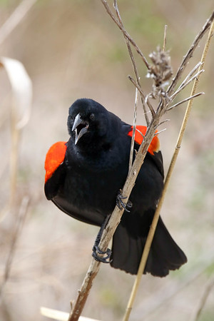 April 28 2017 - Red-Winged Blackbird