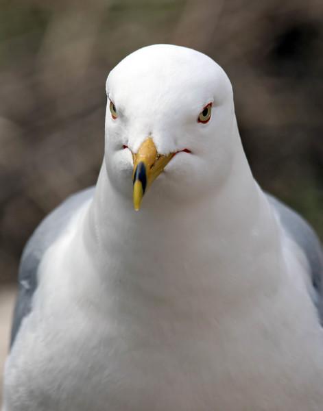 April 29 2017 - Gull