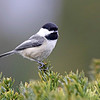 April 6 2017 - Chickadee