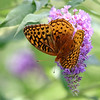 August 19 2017 - Fritillary Butterfly