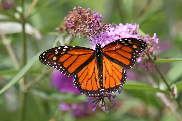 August 24 2017 - Monarch Butterfly