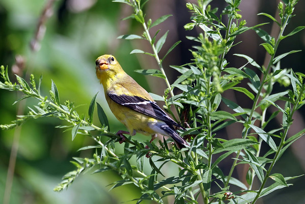 August 13 2017 - Goldfinch (Female)