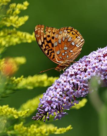August 31 2017 - Fritillary Butterfly