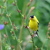 August 10 2017 - Goldfinch