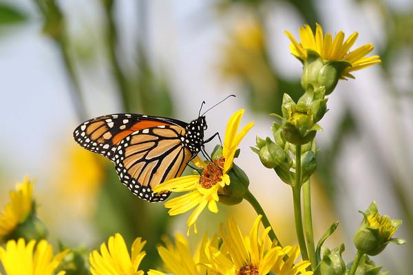 August 7 2017 - Monarch Butterfly