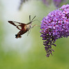 August 5 2017 - Hummingbird Moth