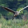 August 2 2017 - Heron