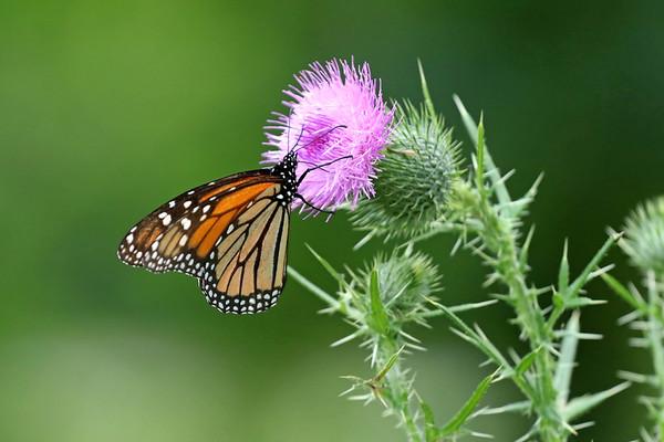 August 4 2017 - Monarch
