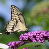 August 22 2017 - Swallowtail