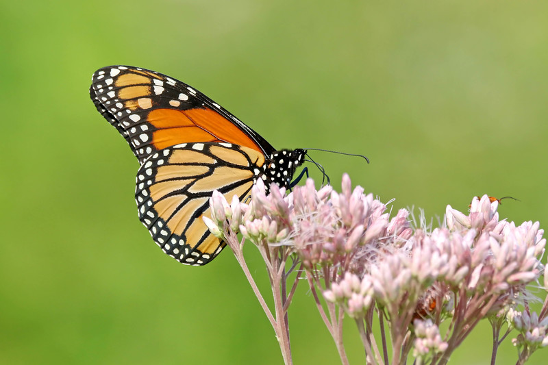 August 11 2017 - Monarch Butterfly