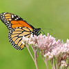 August 11 2017 - Monarch Butterfly