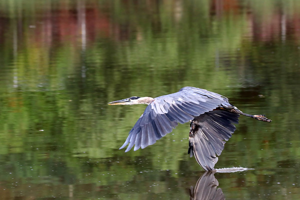 August 28 2017 - Great Blue Heron