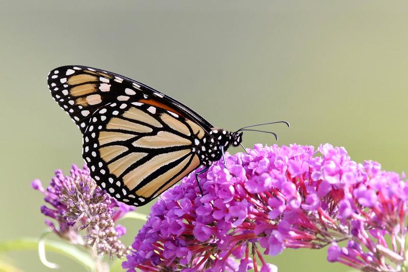 August 18 2017 - Monarch Butterfly