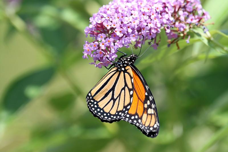 August 15 2017 - Monarch Butterfly