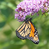 August 15 2017 - Monarch Butterfly