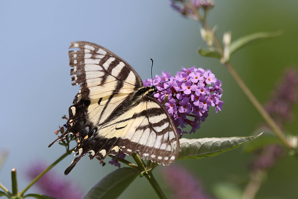 August 27 2017 - Swallowtail