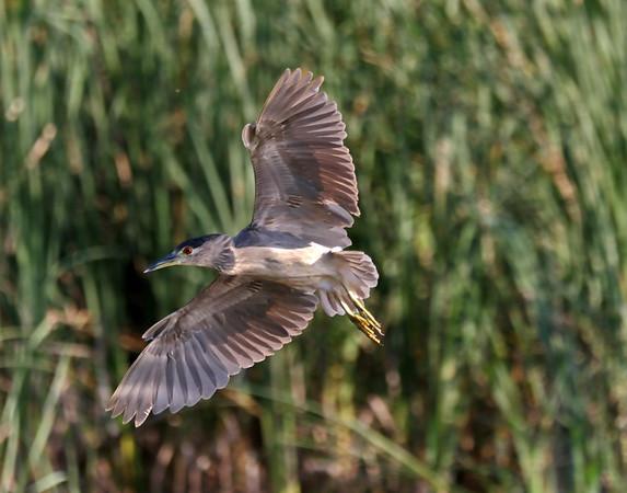 August 25 2017 - Night Heron