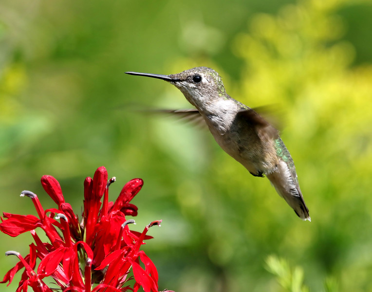 August 30 2017 - Hummingbird