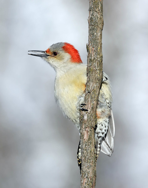 December 16 2017 - Red-Bellied Woodpecker