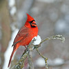 December 25 2017- Northern Cardinal
