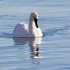 December 20 2017 - Trumpeter Swan