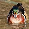 December 11 2017 - Wood Duck