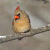 December 18 2017 - Female Northern Cardinal