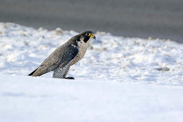 December 30 2017 - Peregrine Falcon