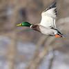 December 29 2017 - Mallard Duck