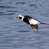 December 28 2017 - Long-Tailed Duck