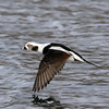 December 2 2017 - Long-Tailed Duck