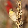 December 3 2017 - Goldfinch