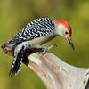 December 6 2017 - Red-Bellied Woodpecker