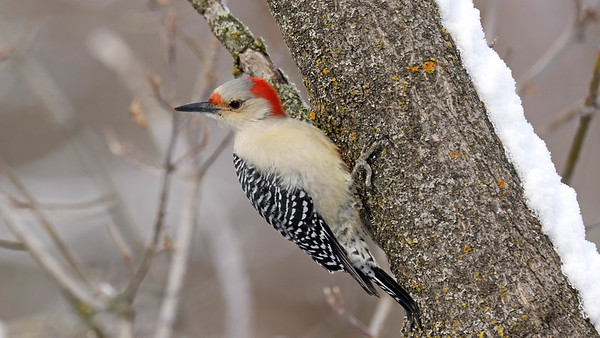 December 27 2017 - Red-Bellied Woodpecker