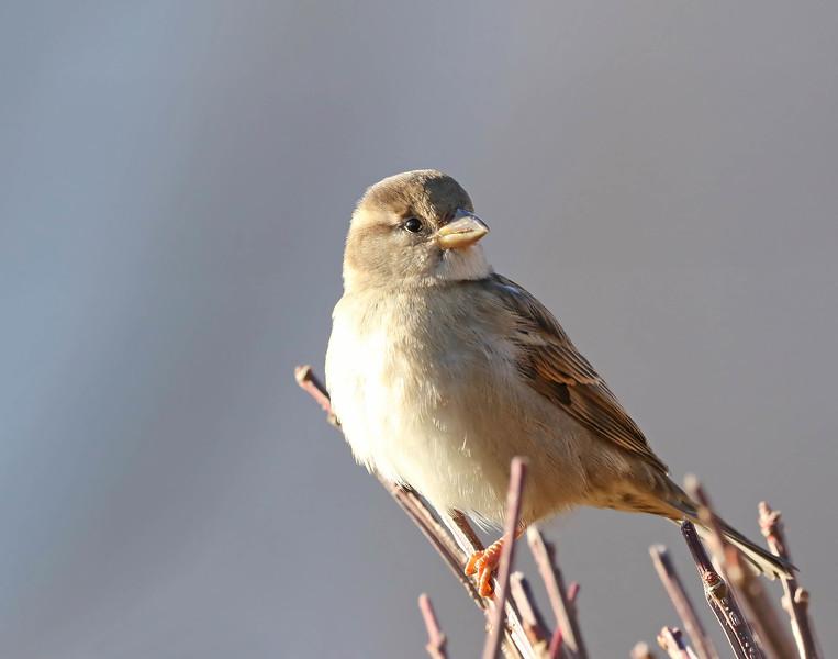 December 23 2017 - Sparrow