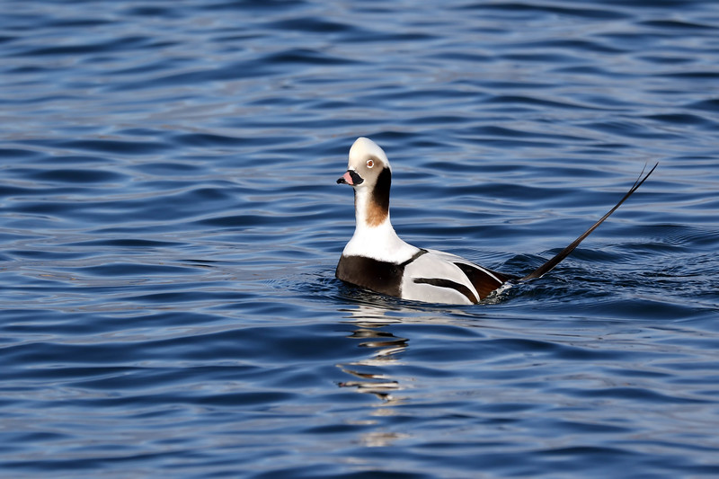 December 22 2017 - Long-Tailed Duck