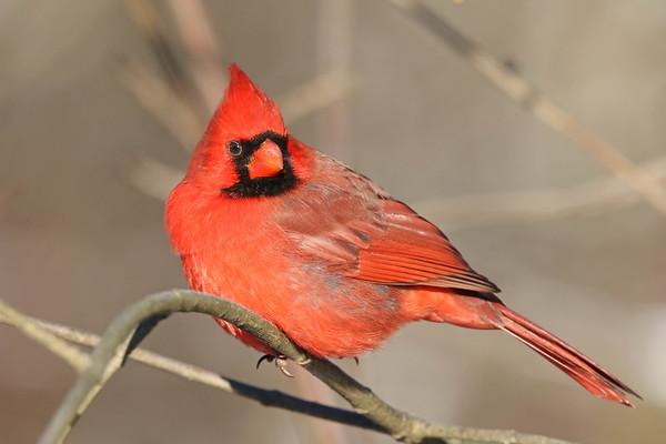 December 17 2017 - Cardinal